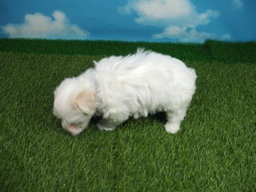 マルチーズの子犬(ID:1255511180)の3枚目の写真/更新日:2021-03-18