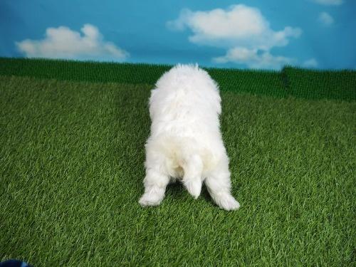 マルチーズの子犬(ID:1255511180)の4枚目の写真/更新日:2021-03-18