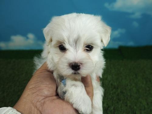 マルチーズの子犬(ID:1255511180)の5枚目の写真/更新日:2021-03-18
