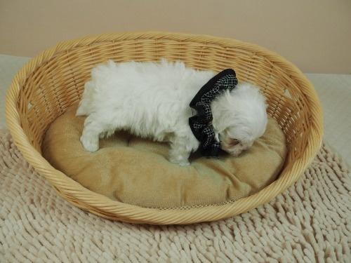 マルチーズの子犬(ID:1255511181)の2枚目の写真/更新日:2021-03-04