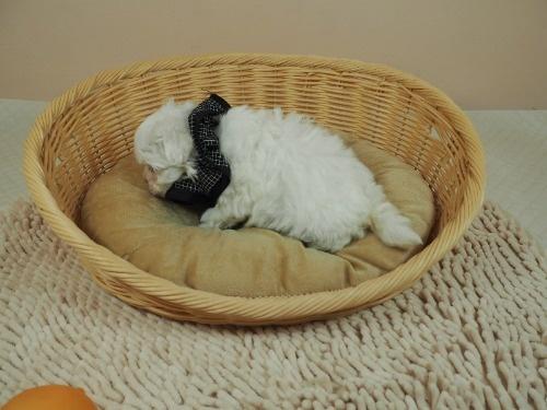 マルチーズの子犬(ID:1255511181)の3枚目の写真/更新日:2021-03-04