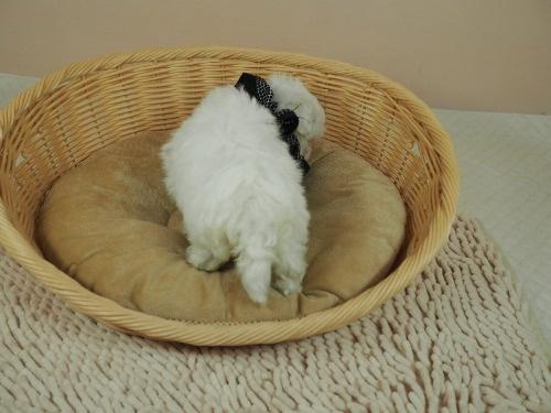マルチーズの子犬(ID:1255511181)の4枚目の写真/更新日:2021-03-04