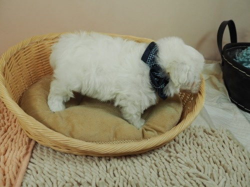 マルチーズの子犬(ID:1255511182)の2枚目の写真/更新日:2021-02-19