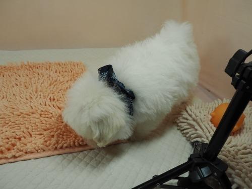 マルチーズの子犬(ID:1255511182)の3枚目の写真/更新日:2021-02-19