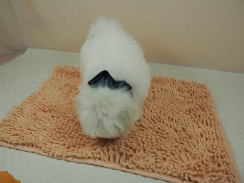 マルチーズの子犬(ID:1255511182)の4枚目の写真/更新日:2021-02-19