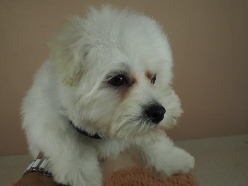 マルチーズの子犬(ID:1255511182)の5枚目の写真/更新日:2021-02-19