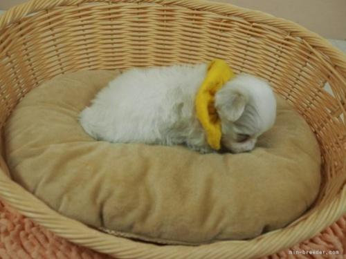 マルチーズの子犬(ID:1255511183)の2枚目の写真/更新日:2021-01-11