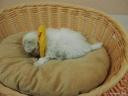 マルチーズの子犬(ID:1255511183)の3枚目の写真/更新日:2021-01-11