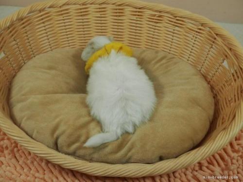 マルチーズの子犬(ID:1255511183)の4枚目の写真/更新日:2021-01-11