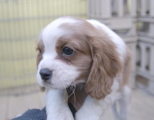 キャバリアの子犬(ID:1255511185)の2枚目の写真/更新日:2016-12-10