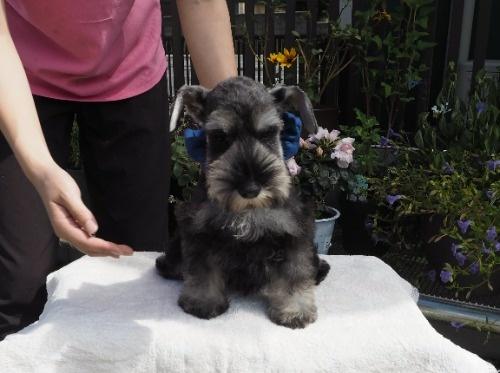ミニチュアシュナウザーの子犬(ID:1255511196)の1枚目の写真/更新日:2020-03-14