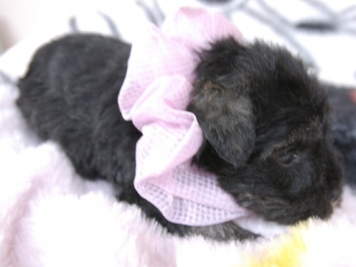 ミニチュアシュナウザーの子犬(ID:1255511196)の2枚目の写真/更新日:2019-07-19