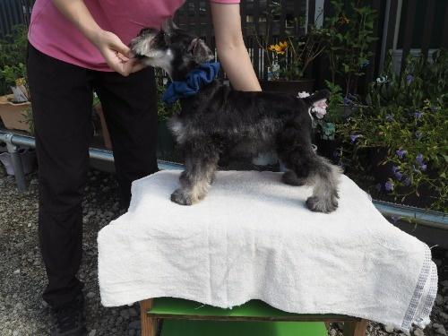 ミニチュアシュナウザーの子犬(ID:1255511196)の3枚目の写真/更新日:2020-03-14