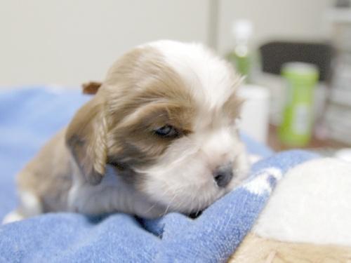 キャバリアの子犬(ID:1255511198)の2枚目の写真/更新日:2016-11-07