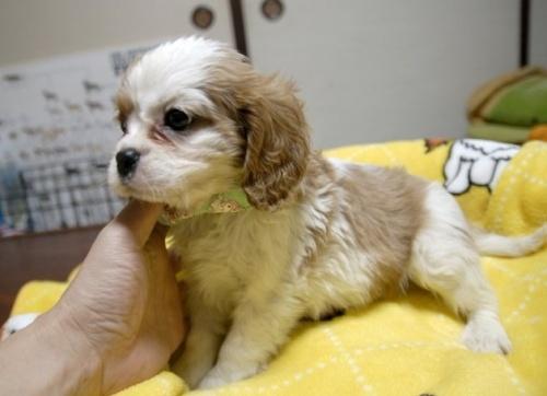 キャバリアの子犬(ID:1255511206)の1枚目の写真/更新日:2016-12-25