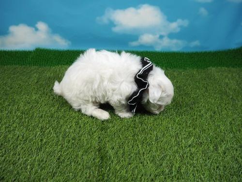 マルチーズの子犬(ID:1255511208)の2枚目の写真/更新日:2021-03-04