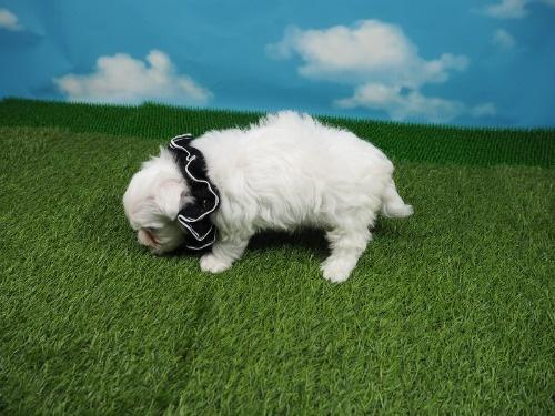 マルチーズの子犬(ID:1255511208)の3枚目の写真/更新日:2021-03-04