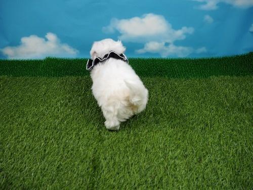 マルチーズの子犬(ID:1255511208)の4枚目の写真/更新日:2021-03-04