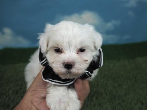 マルチーズの子犬(ID:1255511208)の5枚目の写真/更新日:2021-03-04