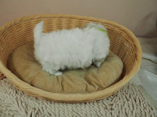 マルチーズの子犬(ID:1255511209)の2枚目の写真/更新日:2021-03-04