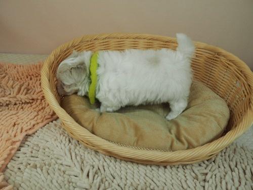 マルチーズの子犬(ID:1255511209)の3枚目の写真/更新日:2021-03-04
