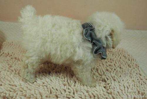 マルチーズの子犬(ID:1255511210)の2枚目の写真/更新日:2021-03-04