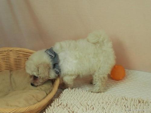 マルチーズの子犬(ID:1255511210)の3枚目の写真/更新日:2021-03-04