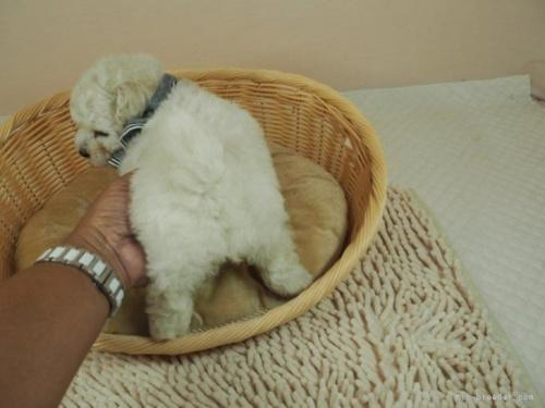 マルチーズの子犬(ID:1255511210)の4枚目の写真/更新日:2021-03-04
