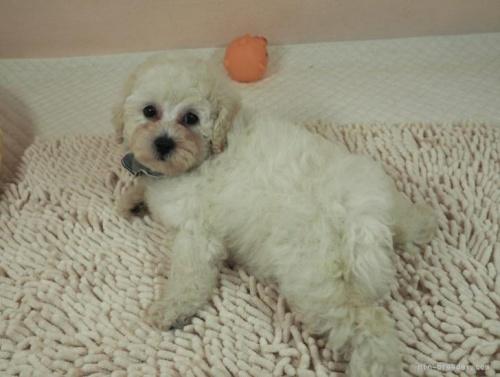 マルチーズの子犬(ID:1255511210)の5枚目の写真/更新日:2021-03-04