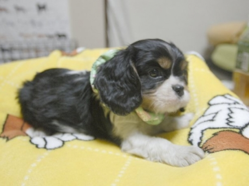 キャバリアの子犬(ID:1255511212)の2枚目の写真/更新日:2017-01-03