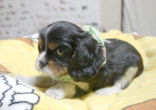 キャバリアの子犬(ID:1255511212)の3枚目の写真/更新日:2017-01-03