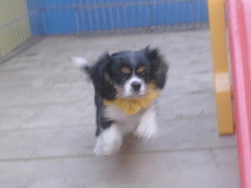 キャバリアの子犬(ID:1255511214)の1枚目の写真/更新日:2017-02-23