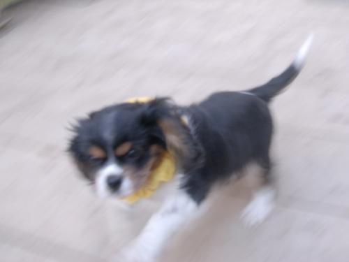 キャバリアの子犬(ID:1255511214)の2枚目の写真/更新日:2017-02-23