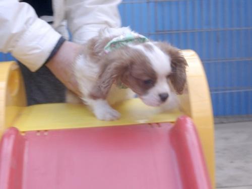 キャバリアの子犬(ID:1255511215)の1枚目の写真/更新日:2017-02-23