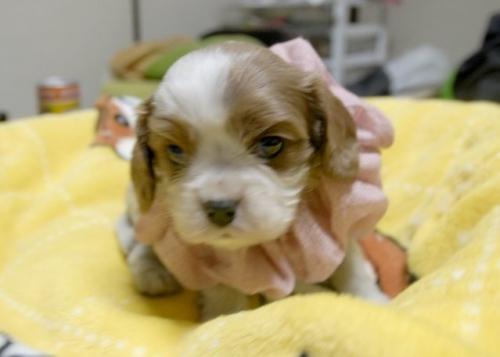キャバリアの子犬(ID:1255511216)の1枚目の写真/更新日:2017-01-16