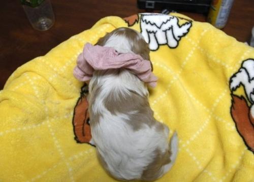 キャバリアの子犬(ID:1255511216)の3枚目の写真/更新日:2017-01-16