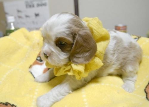 キャバリアの子犬(ID:1255511217)の3枚目の写真/更新日:2017-01-16