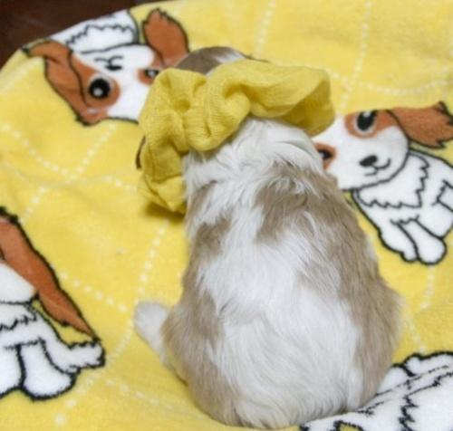 キャバリアの子犬(ID:1255511217)の4枚目の写真/更新日:2017-01-16