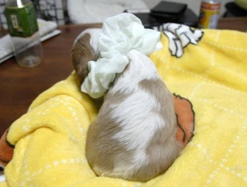 キャバリアの子犬(ID:1255511218)の3枚目の写真/更新日:2017-01-16