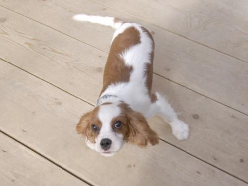 キャバリアの子犬(ID:1255511219)の2枚目の写真/更新日:2017-02-23
