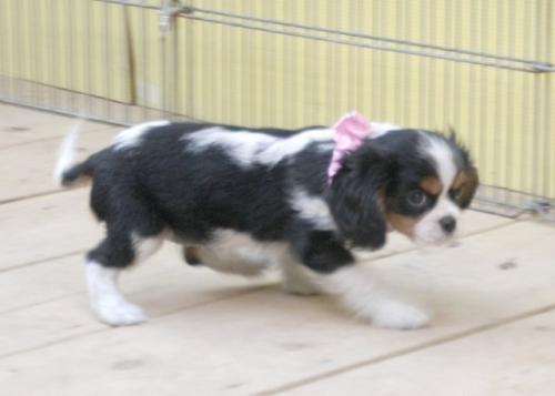 キャバリアの子犬(ID:1255511221)の2枚目の写真/更新日:2017-01-16