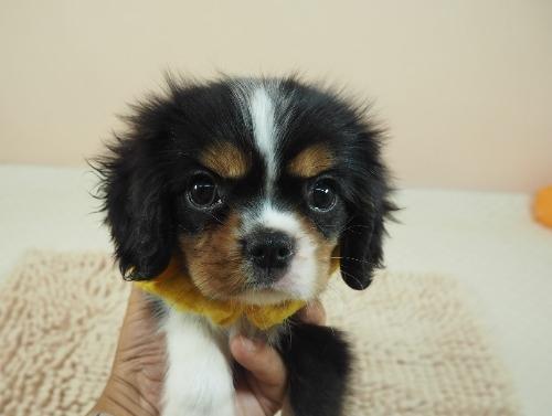 キャバリアの子犬(ID:1255511222)の1枚目の写真/更新日:2019-05-25