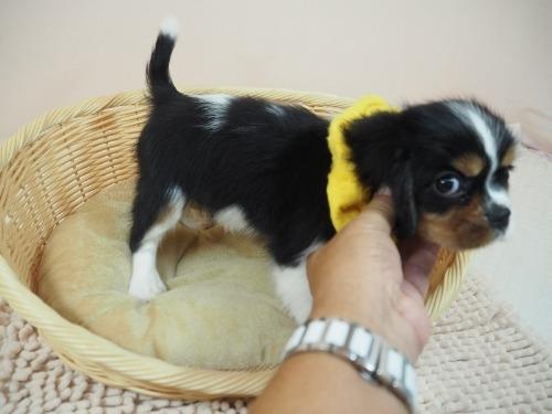 キャバリアの子犬(ID:1255511222)の2枚目の写真/更新日:2019-11-18