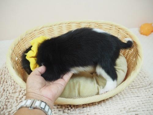 キャバリアの子犬(ID:1255511222)の3枚目の写真/更新日:2019-11-18