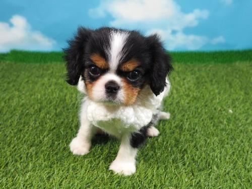 キャバリアの子犬(ID:1255511223)の1枚目の写真/更新日:2019-11-18