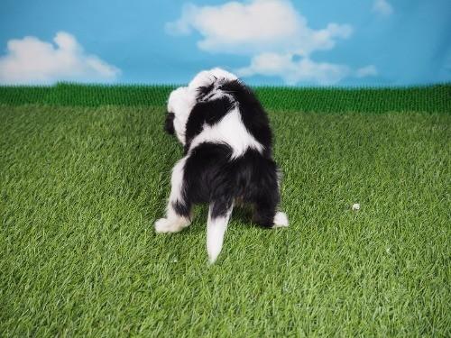 キャバリアの子犬(ID:1255511223)の4枚目の写真/更新日:2019-11-18