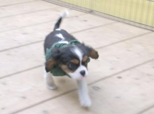 キャバリアの子犬(ID:1255511224)の1枚目の写真/更新日:2017-01-24