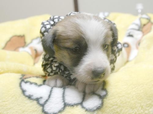 ジャックラッセルテリアの子犬(ID:1255511225)の1枚目の写真/更新日:2017-02-23