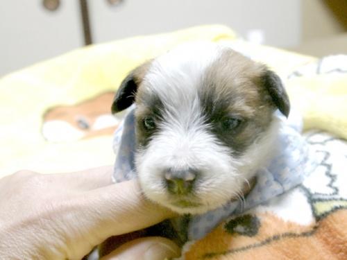ジャックラッセルテリアの子犬(ID:1255511226)の1枚目の写真/更新日:2017-02-23
