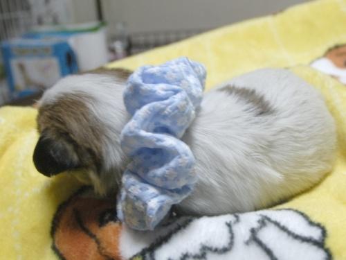 ジャックラッセルテリアの子犬(ID:1255511226)の2枚目の写真/更新日:2017-02-23